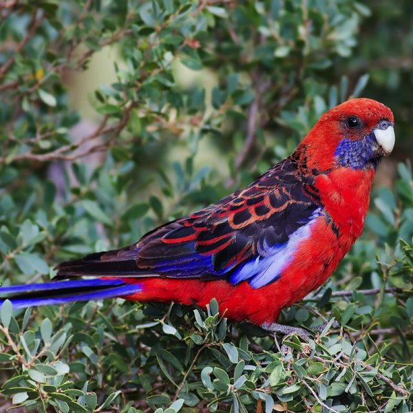Crimson Rosella adults and juveniles generally show strikingly different colouration in south-eastern populations, with predominantly greenish-olive body plumage on the juvenile, most persistent on the nape and breast. Juveniles are said to 'ripen' as they get older and turn from green to red. All races have blue cheeks and black-scalloped blue-margined wings and predominantly blue tail with predominantly red coloration. The crimson rosella's blue tail feathers are one of the favourite decorations of the satin bowerbird. The bill is pale grey and the iris dark brown.