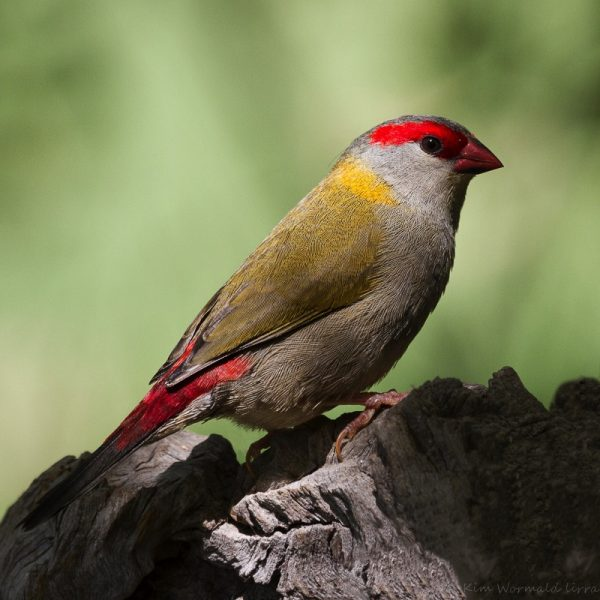Red-browed Finch. Photo by Kim Wormald