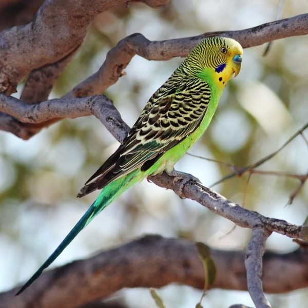 Wild budgerigars average 18 cm long, weigh 30–40 grams, 30 cm in wingspan, and display a light green body colour (abdomen and rumps), while their mantles (back and wing coverts) display pitch-black mantle markings edged in clear yellow undulations. The forehead and face is yellow in adults.It is found wild throughout the drier parts of Australia, where it has survived harsh inland conditions for over five million years. Its success can be attributed to a nomadic lifestyle and its ability to breed while on the move. The budgerigar is closely related to lories and the fig parrots.