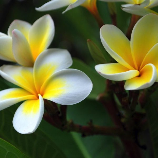Frangipani essential oil has a sophisticated, rich floral fragrance, so the alluring aroma of the flowers is highly valued for use in perfumes. The oil's purifying qualities may protect the organs from damage, and increase libido. Frangipani can promote inner peace and confidence.
