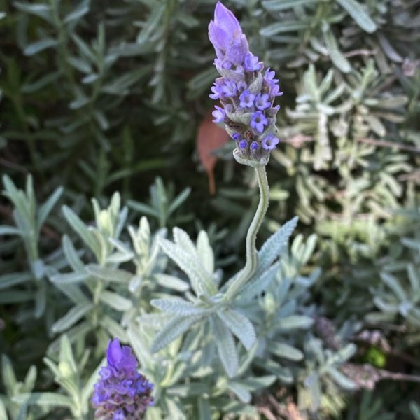 Lavender growing in Integrity Candles' home garden.