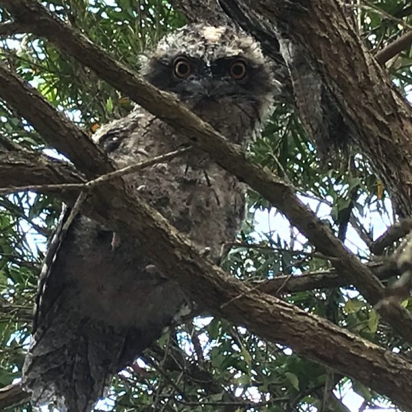 'Peek A Boo' tawny frogmouth on the farm at Integrity Candles. Photo by Linda Saul