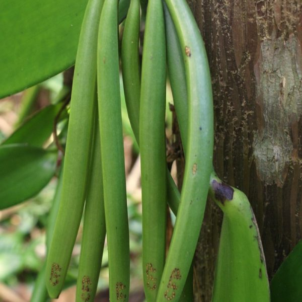 Green Vanilla Pods: Vanilla essence is derived from the pods of the Vanilla orchid, primarily V. planifolia.