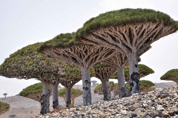 Dracaena cinnabari, or Dragon's Blood, is a curious looking tree native to Socotra in Yemen. Its resin has wide applications in traditional medicine, magic, and varnish making (said to be the reason Stradivarius violins are so deeply red!). For our purposes, it also produces a luxurious and intoxicating perfume.