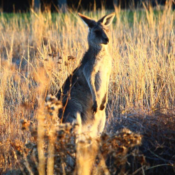 Kangaroo.Photo by Kayla Fishburn on Unsplash